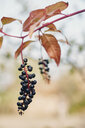 Chokeberries, Aronia, growing on branch - BZF00412