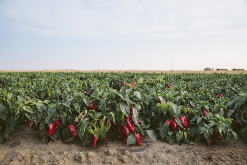 Serbia, field, red bell peppers - NOF00041