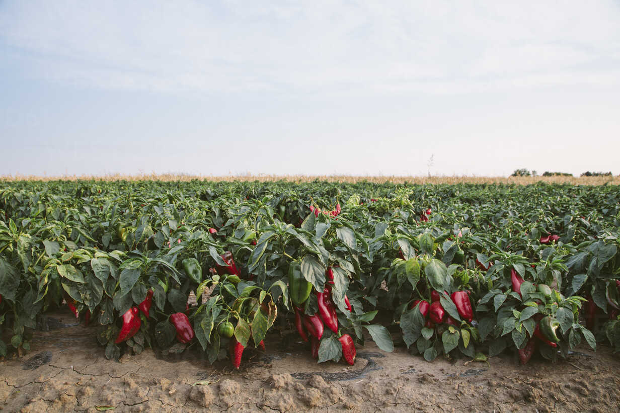 Serbia, field, red bell peppers - NOF00041 - oticki/Westend61