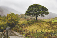 United Kingdom, England, Cumbria, Lake District,  lone tree in the countryside - WPEF00542