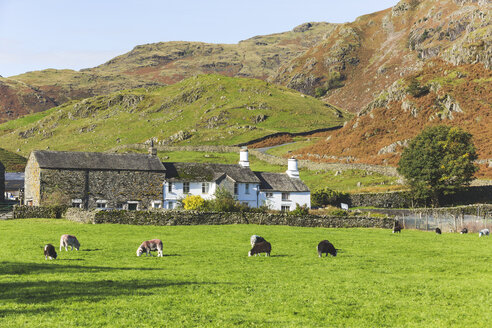 United Kingdom, England, Cumbria, Lake District, cows grazing in the countryside next to Wrynose Pass - WPEF00548
