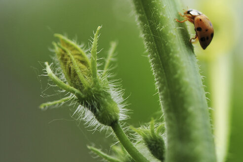 Close up of beetle crawling up flower stem - CUF38455