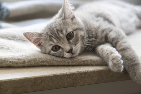 British shorthair kitten lying on window sill - JUNF01085