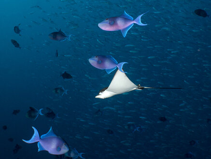Maledives, Spotted eagle ray, Aetobatus narinari, and fishes - TOVF00109