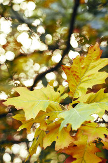 Autumn leaves - BZF00413