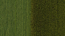 Serbia, Vojvodina, Aerial view of soybean and corn crops - NOF00052