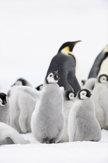 Antarctica, Antarctic Peninsula, Snow Hill Island, Emperor Penguin chick - RUEF01879