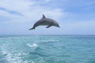 Honduras, Roatan, bottlenose dolphin jumping in the air - RUEF01888