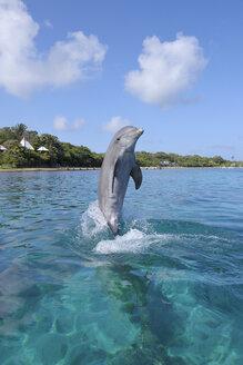 Honduras, Roatan, jumping bottlenose dolphin - RUEF01891