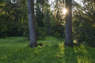 Italy, Dolomites, Cortina d´Ampezzo, wild flower meadow at forest edge  by sunset - RUEF01900