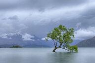 New Zealand, South Island, tree growing in Lake Wanaka - RUEF01912