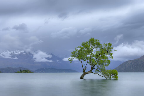 New Zealand, South Island, tree growing in Lake Wanaka - RUEF01912