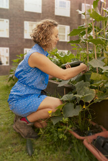 Young woman with harvesting cucumbers on council estate allotment - CUF39957