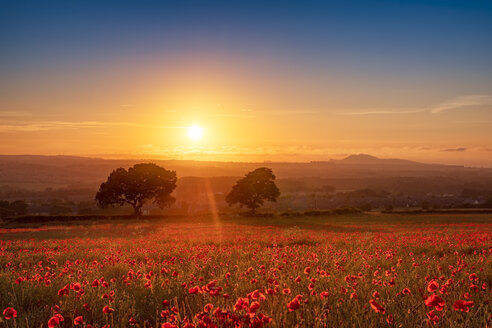 UK, Scotland, Midlothian, Poppy field at sunset - SMAF01052