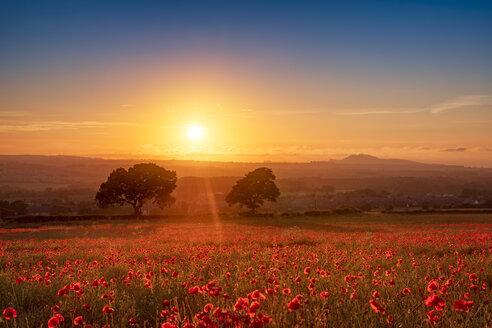UK, Scotland, Midlothian, Poppy field at sunset - SMAF01052