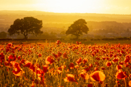 UK, Scotland, Midlothian, Poppy field at sunset - SMAF01055