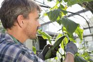 Organic farmer harvesting cucumbers in polytunnel - CUF41463