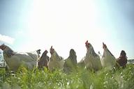 Medium group of  free range hens in sunlight - CUF41491