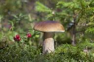 Boletus edulis (porcini) mushroom growing - CUF41733