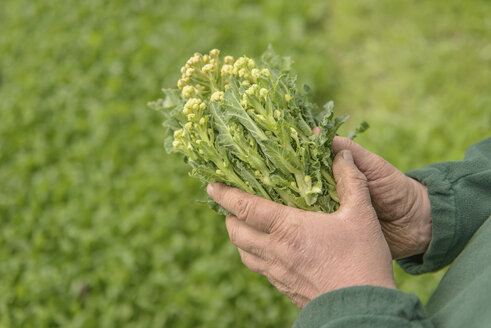 Farmer inspecting organic white sprouting broccoli, close up - CUF41889