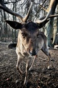 dear, forest, Germany - NGF00457