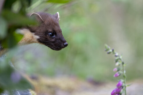 UK, Scotland, portrait of pine marten - MJOF01514
