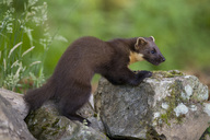 UK, Scotland, pine marten - MJOF01517