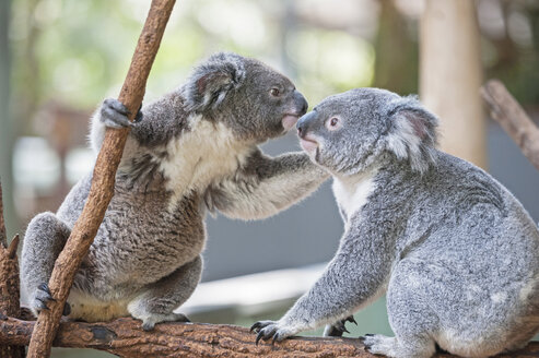 Two koala bears on branch, Lone Pine Sanctuary, Brisbane, Australia - CUF43270