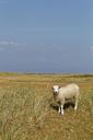 Germany, North Frisia, Sylt, Sheep on meadow - GFF01076