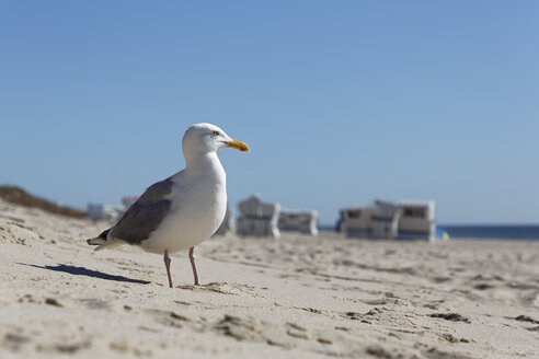Germany, North Frisia, Sylt, Seagull at the beach - GFF01088