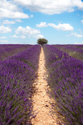 France, Provence, Valensole plateau, Infinite purple fields of blooming lavender in summer - GEMF02163