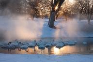 Whooper swans, Hokkaido, Japan - MINF00950