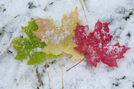 Vivid coloured maple leaves lying on snow. - MINF01464