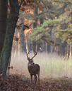 Male deer with antlers in autumn foliage. - MINF01787