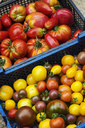 Crate of fresh ripe tomatoes, varieties with red, yellow and dark red skin. - MINF02057