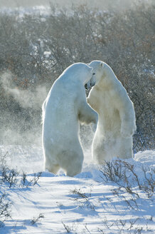 Polar bears in the wild. A powerful predator and a vulnerable  or potentially endangered species. - MINF02080