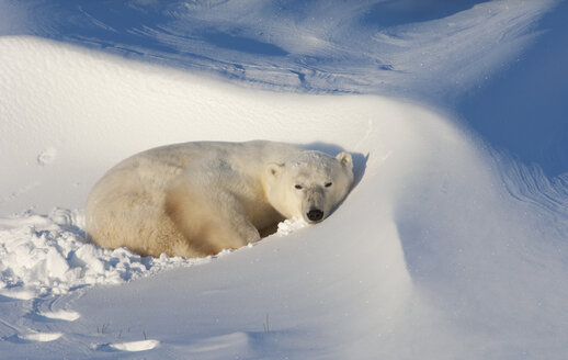 Polar bears in the wild. A powerful predator and a vulnerable  or potentially endangered species. - MINF02083