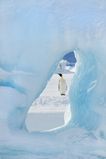 An adult Emperor penguin standing on the ice on Snow Hill island. Seen through an ice arch. - MINF02086