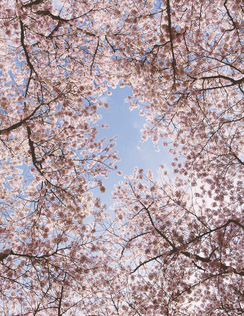 Frothy Pink Cherry Blossom On Cherry Trees In Spring In Washington State Viewed From The Ground