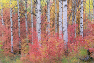 A forest of aspen trees in the Wasatch mountains, with striking yellow and red autumn foliage. - MINF02144