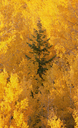 Elevated view over the tops of the aspen trees in the Dixie National Forest in autumn. - MINF02204