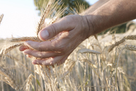 Man's hands holding wheat ears - KMKF00428