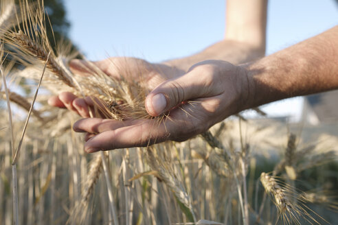 Man's hands holding wheat ears - KMKF00431
