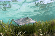 Sting ray swimming in tropical water - ISF17461