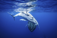Humpback whales swimming underwater - ISF17587
