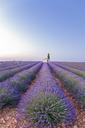 France, Alpes-de-Haute-Provence, Valensole, lavender field - RPSF00200