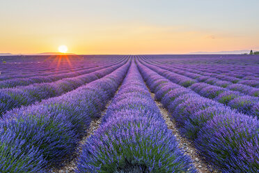 France, Alpes-de-Haute-Provence, Valensole, lavender field at twilight - RPSF00203