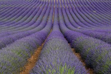France, Alpes-de-Haute-Provence, Valensole, lavender field - RPSF00206
