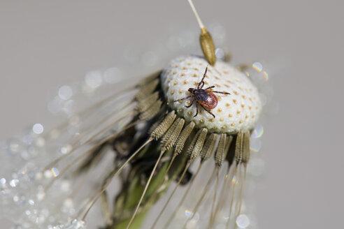 Tick on dandelion head - MJOF01520