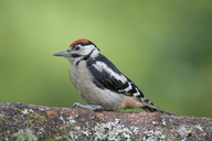 Great spotted woodpecker perching on tree trunk - MJOF01529
